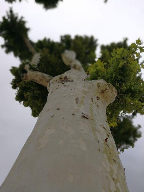 Ogrody-lublin-budowa_ogrodów_pielegnacja_Hortland_projetkowanie_ogrodow-drzewa-platyny-platany2
