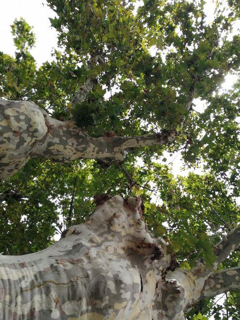 Ogrody-lublin-budowa_ogrodów_pielegnacja_Hortland_projetkowanie_ogrodow-drzewa-platyny-platany3