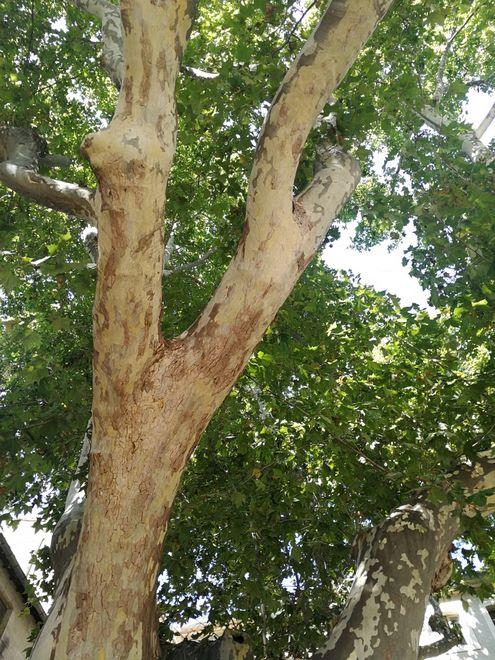 Ogrody-lublin-budowa_ogrodów_pielegnacja_Hortland_projetkowanie_ogrodow-drzewa-platyny-platany5