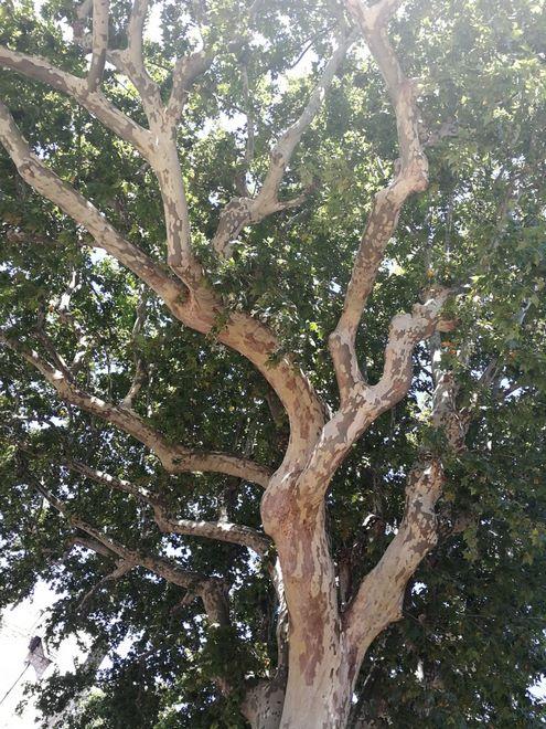 Ogrody-lublin-budowa_ogrodów_pielegnacja_Hortland_projetkowanie_ogrodow-drzewa-platyny-platany6