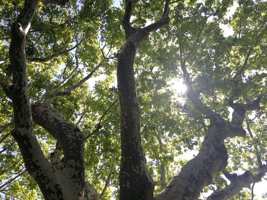 Ogrody-lublin-budowa_ogrodów_pielegnacja_Hortland_projetkowanie_ogrodow-drzewa-platyny-platany8